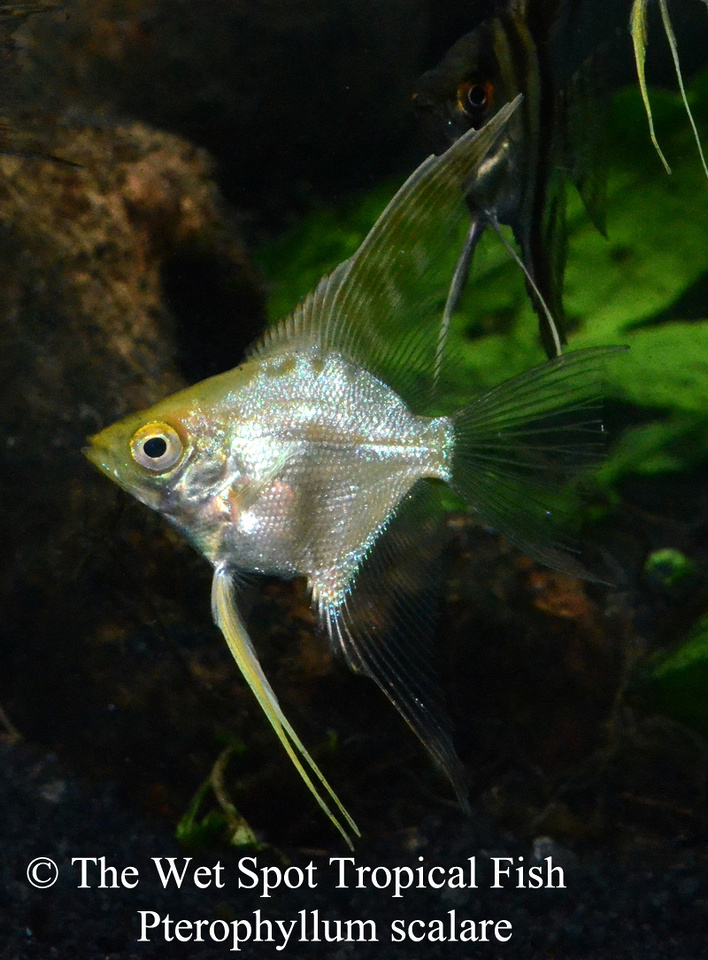 Archived auction fwangelfish1450975804 for Wet spot fish