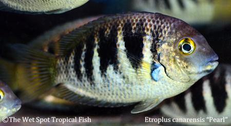 Etroplus canarensis