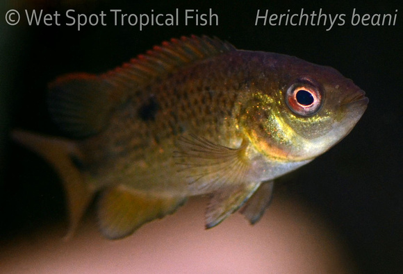 Archived auction fwcichlidc1487960088 6 for Wet spot fish