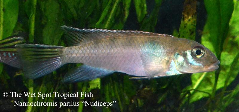 NannochromisparilusNudicepsFemale
