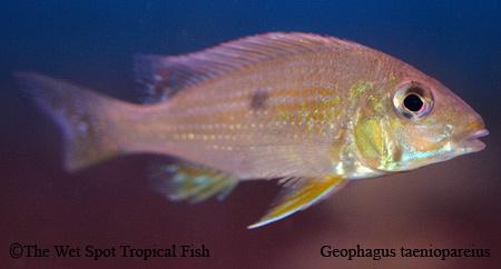 Geophagus taenioparius