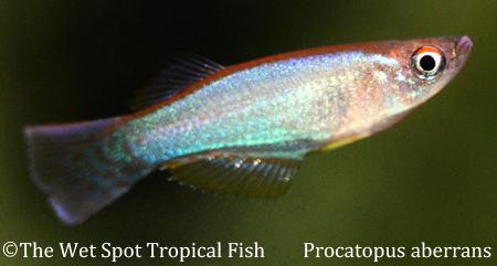 Procatopus abberans