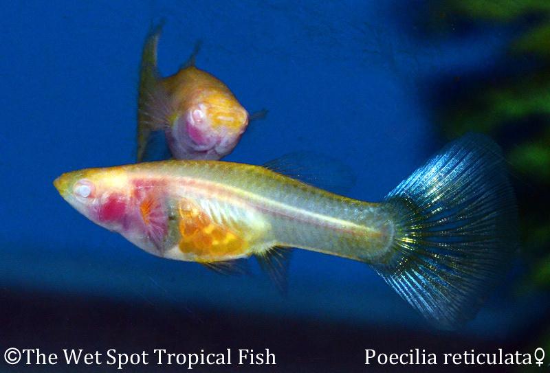 """Poecilia reticulata Albino """"Naked"""""""