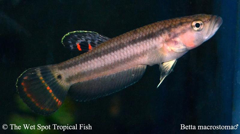 Betta macrostoma Female