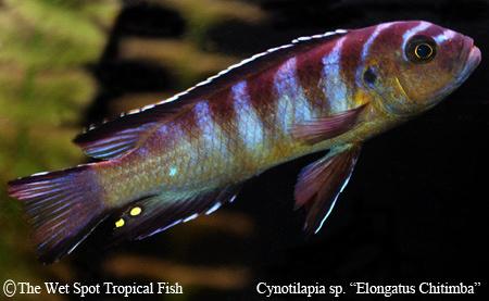 """Cynotilapia sp. """"Elongatus Chitimba"""""""