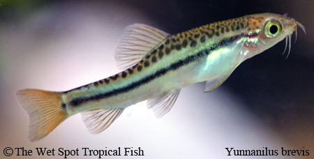 Yunnanilus brevis Female