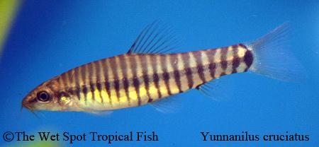 Micronemacheilus cruciatus