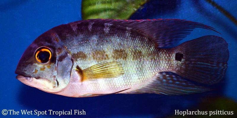 Hoplarchus psitticus Juvenile