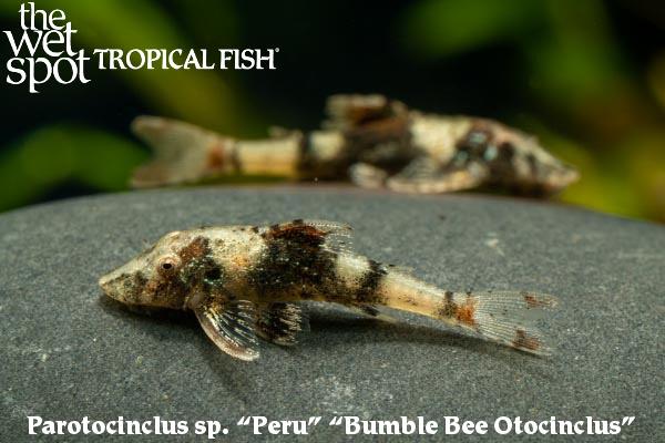 "Parotocinclus sp. ""Peru Bumble Bee Oto"""