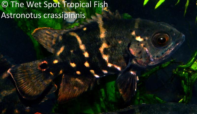 Astronotus crassipinnis