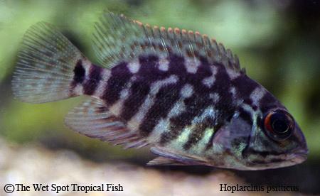 Hoplarchus psitticus