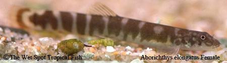 Aborichthys elongatus Female