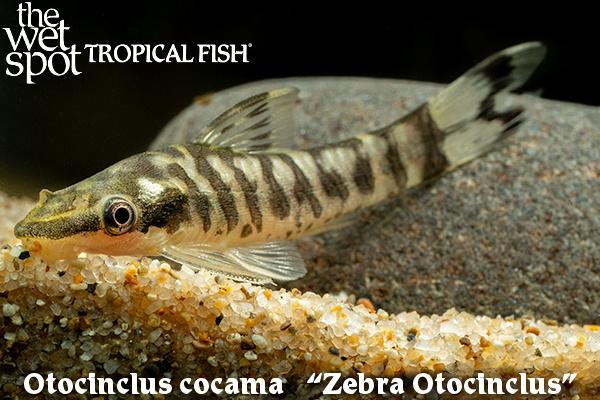Otocinclus cocama