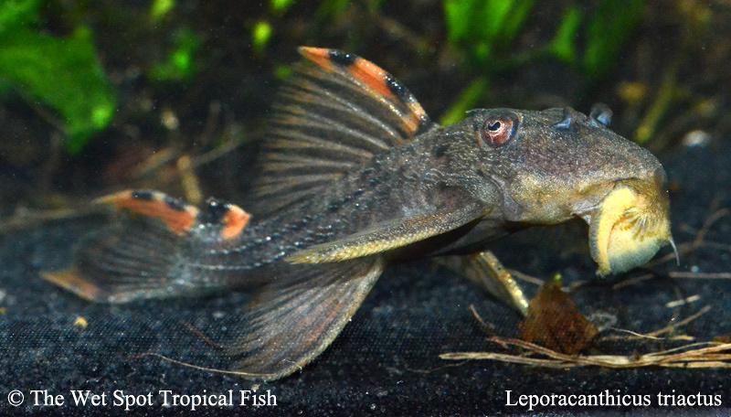 L91 Leporacanthicus triactis