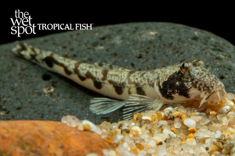 Somileptesgongota1