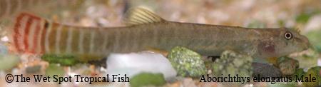 Aborichthys elongatus Male