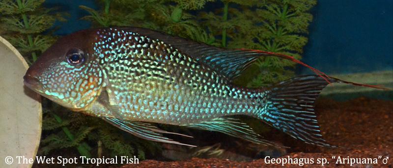 Geophagus sp Aripuana male