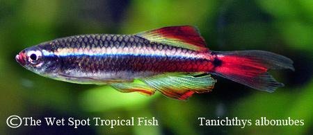 "Tanichthys albonubes ""Long Fin"""