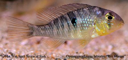 """Gymnogeophagus labiatus """"Rio Olimar"""""""