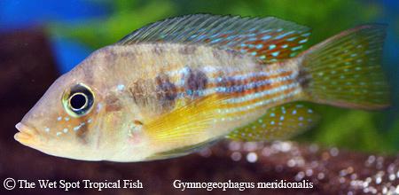 Gymnogeophagus meridionalis