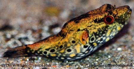 Tetraodon palembangensis