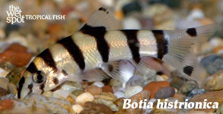 Botia histrionica - juvenile