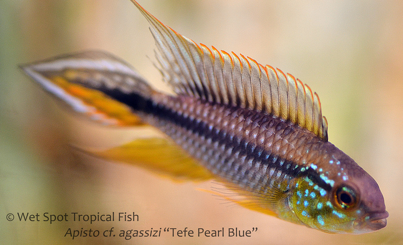 Apistogramma agassizi Tefe Pearl Blue
