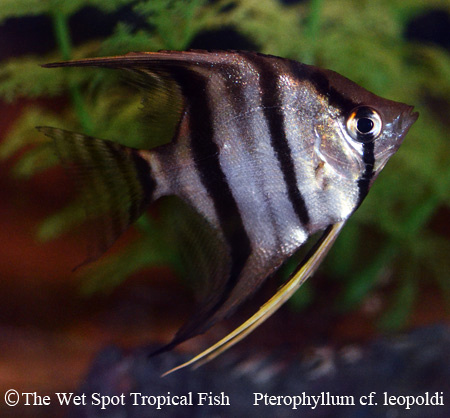 "Pterophyllum scalare ""Red Spot"""