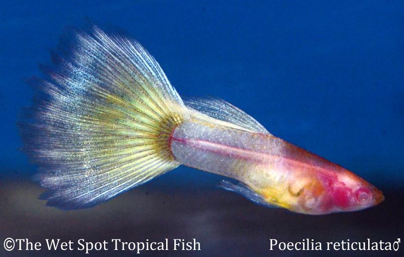 """Poecilia reticulata Albino """"Naked"""" Male"""